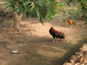 Chickens in a longan grove on an island of the Mekong Delta.