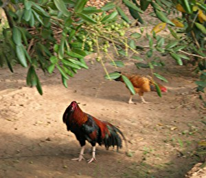Rooster and hen under a longan tree.
