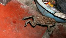 A toad hopping through Lựơng's aunt's house in the Mekong Delta.