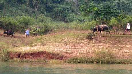 Water buffalo plowing the field