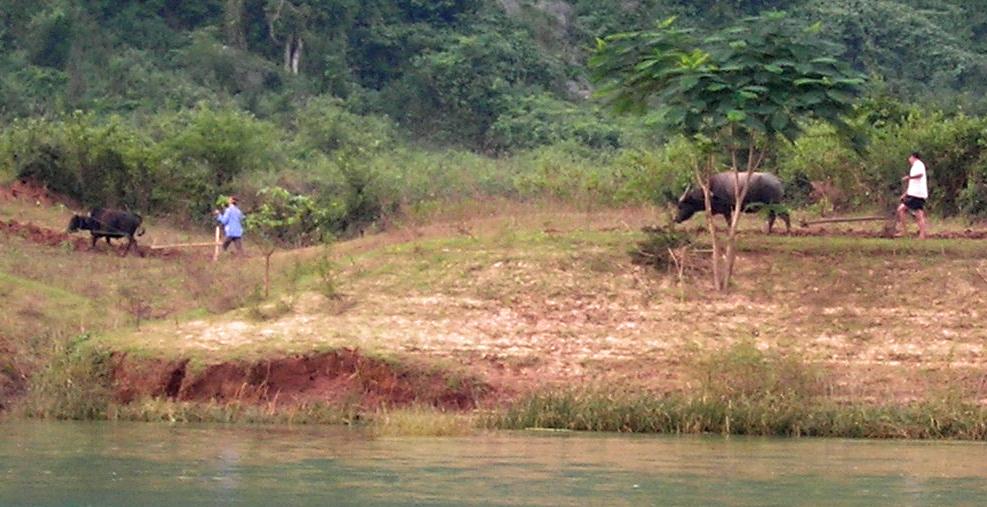 Water buffalo plowing the field